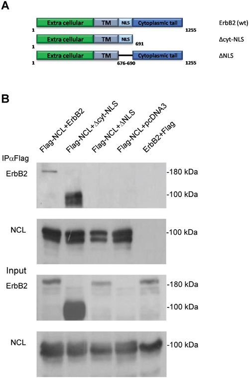 The NLS domain of ErbB2 is responsible for nucleolin-binding.