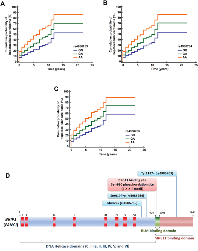 Cumulative probability of hepatocellular carcinoma occurrence among patients with viral cirrhosis in the CiRCE study according to BRIP1 variants.