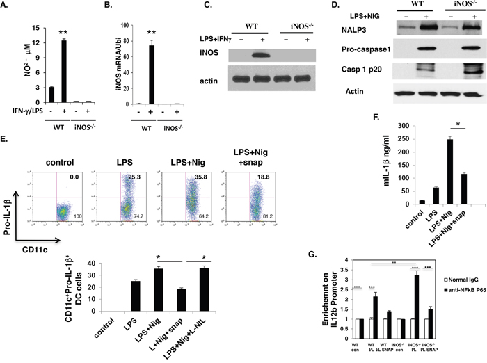 iNOS expression was induced in WT dendritic cells and NO suppress inflammasome activity.