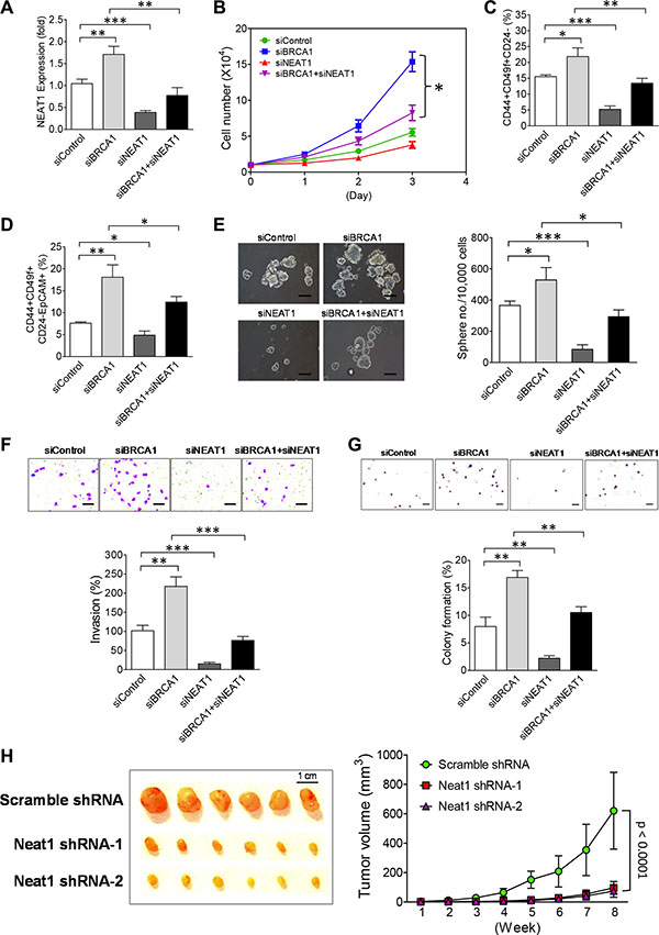 NEAT1 upregulation induced by BRCA1 deficiency promotes in vitro malignancies and in vivo tumorigenicity of breast tumor cells.