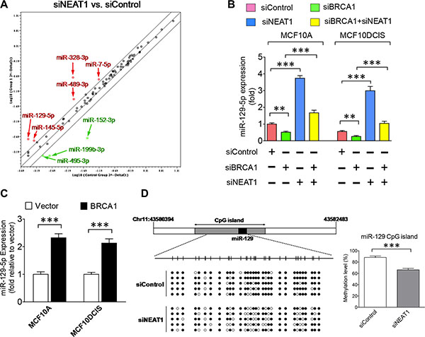 Epigenetic regulation of miR-129-5p expression by the BRCA1/NEAT1 axis.