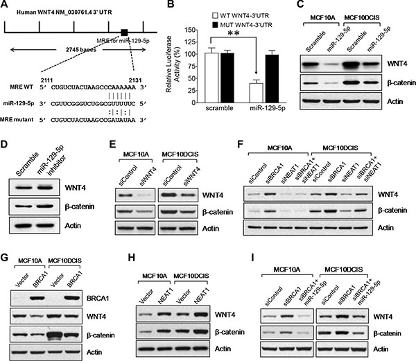 WNT4 is a miR-129-5p target gene that is regulated by the BRCA1/NEAT1/miR-129-5p axis.
