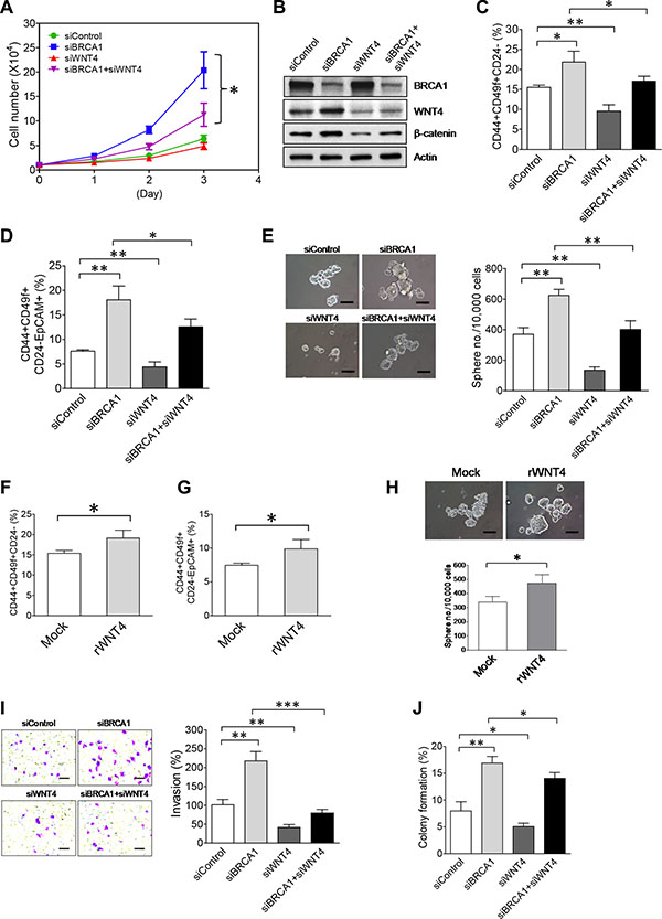 Upregulation of WNT4 by the NEAT1-miR129 axis is functionally implicated in promoting malignant phenotypes and stemness of BRCA1-deficient breast tumor cells.