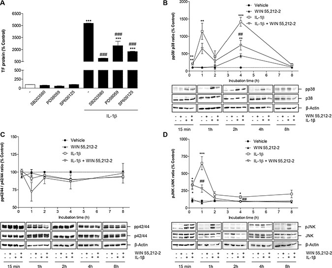 Role of MAPKs in IL-1β-induced TF expression and its mo