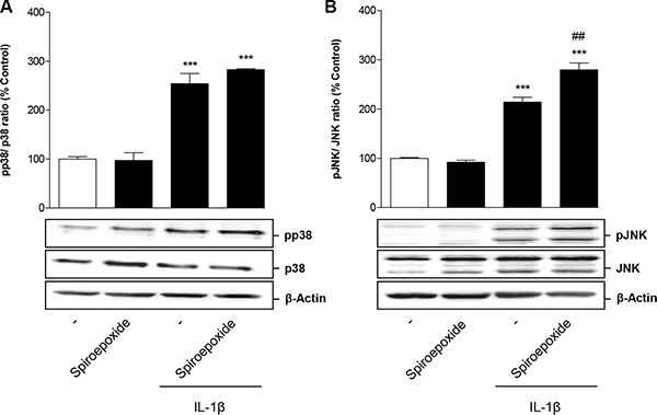 Impact of nSMase spiroepoxide inhibitor on IL-1β-induced activation of p38 MAPK (A) and JNK (B).