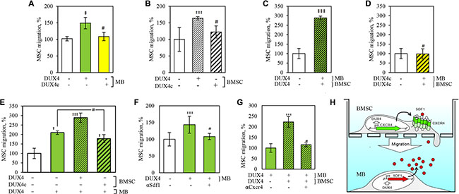 DUX4 and DUX4c expression increases migration rate of human bone marrow stem cells (BMSC) towards human immortalized myoblasts (MB) in a transwell assay.