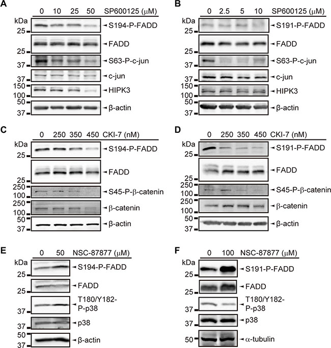 Inhibition assays for FADD phosphorylation regulators.