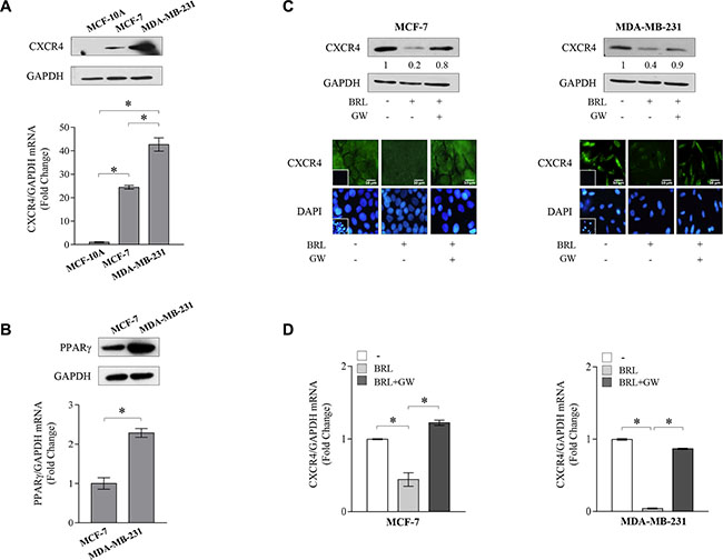 Ligand-activated PPARγ downregulates CXCR4 expression in breast cancer cells.