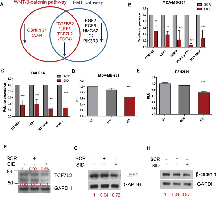 Treatment with SID decoy peptide leads to the inhibition of Wnt and EMT pathway genes.