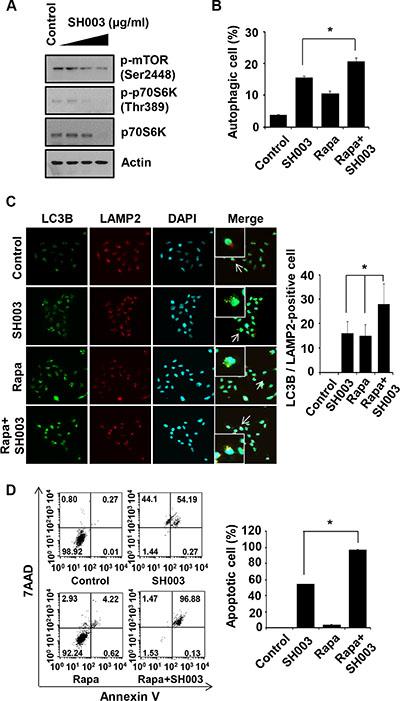 Rapamycin enhances SH003-induced autophagy-mediated apoptosis.