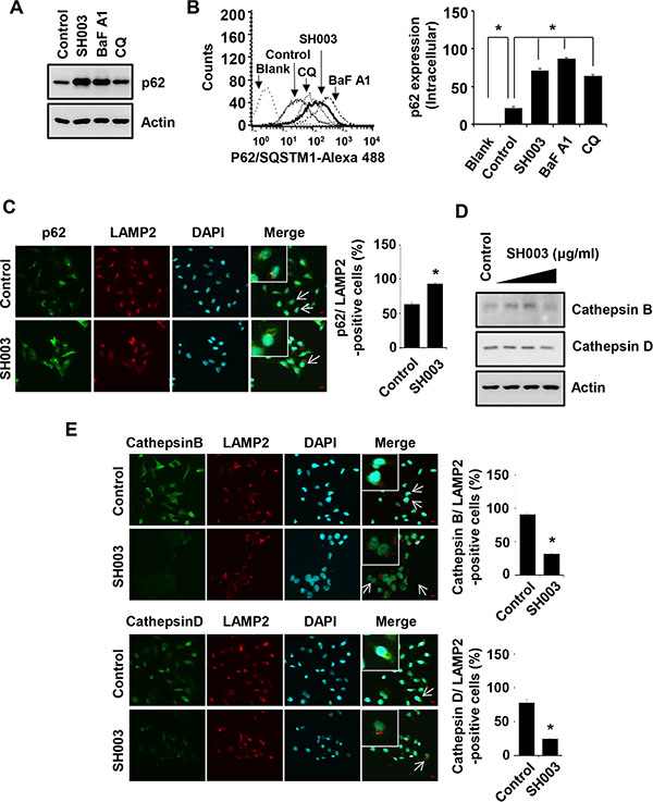 SH003 induces p62 accumulation via reduction of Cathepsin expression.