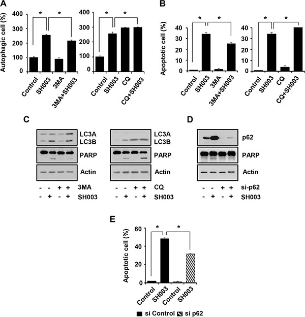 SH003-induced p62 accumulation causes autophagy-mediated apoptosis.