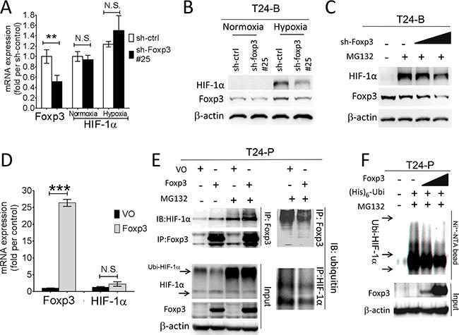 Foxp3 expression decreased ubiquitin-proteasomal degradation of HIF-1α protein.