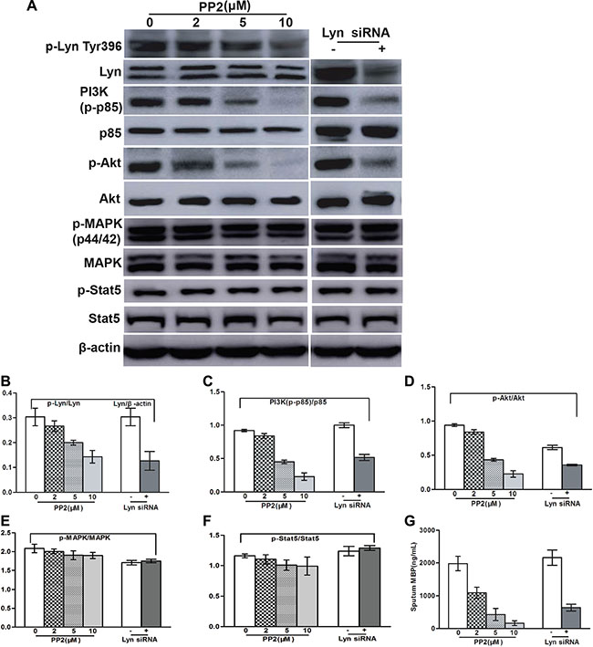 Lyn inhibition blocked IL-5-induced MBP release and the downregulation of PI3K/Akt in EOL-1 cells.