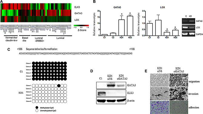 GATA3 orchestrates the phenotypic changes induced by suppression of ELK3 in MDA-MB-231 cells.