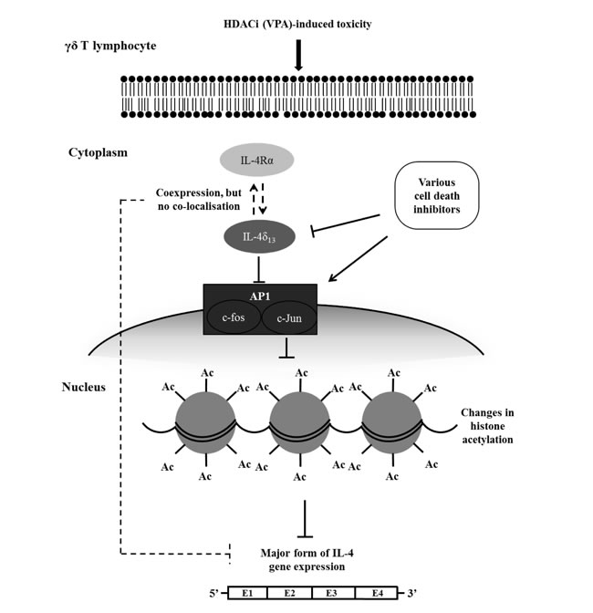 Schematic diagram of proposed regulatory interplay between VPA-induced toxicity, induction of IL-4δ