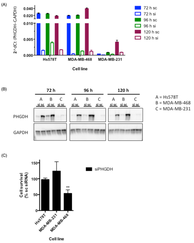 siRNA-mediated knockdown reduces cell proliferation in MDA-MB-468 breast cancer cells.