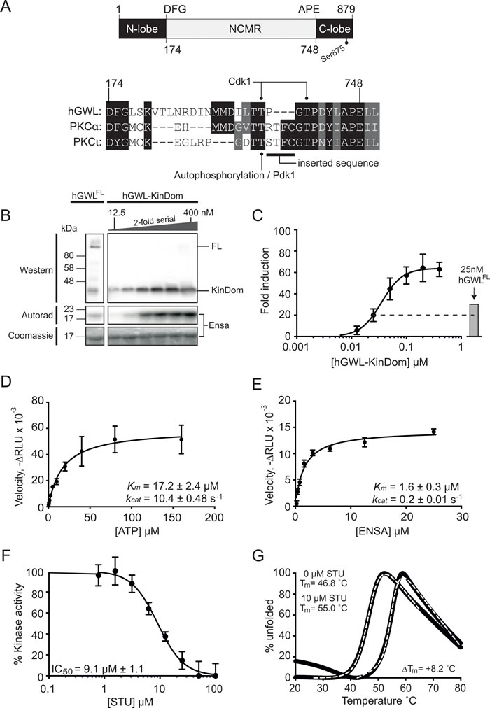 Biochemical and biophysical characterisation of the minimal kinase construct hGWL-KinDom.