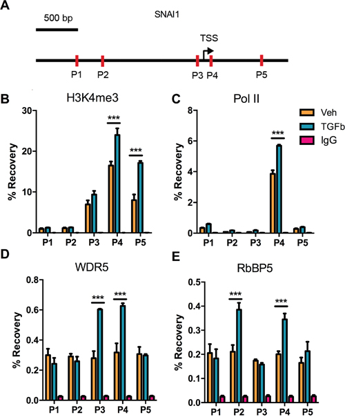 Changes in histone H3 modifications and RNA polymerase II binding at the SNAI1 TSS after TGF-Beta1 induction of EMT in DU145 cells.