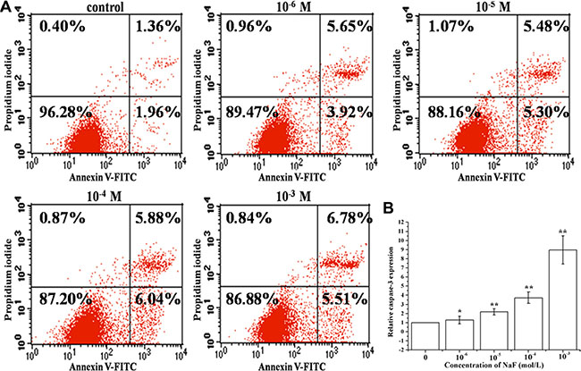 Assessment of apoptosis in cells treated with 10–6, 10–5, 10–4 and 10–3 mol/L NaF.