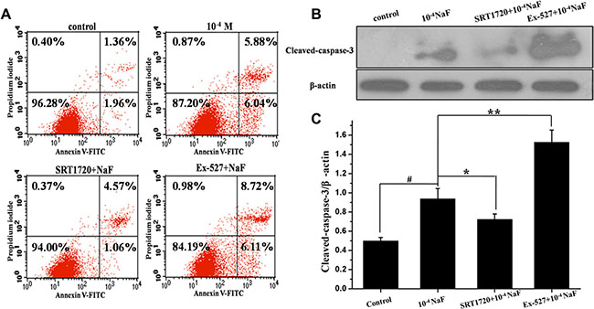 SIRT1 inhibited NaF-induced apoptosis.