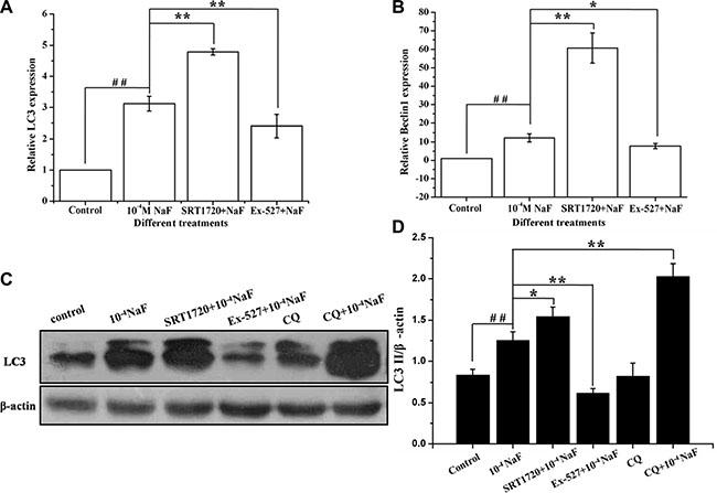 SIRT1 enhanced NaF-induced autophagy.