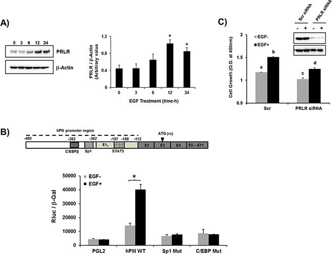 EGF induced up-regulation of PRLR gene transcription/expression.