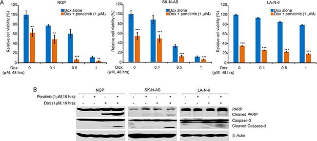 Ponatinib enhances the cytotoxic effect of Dox on NB cell lines.