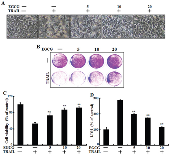 EGCG protected TRAIL-induced apoptosis in HCT116 cells.
