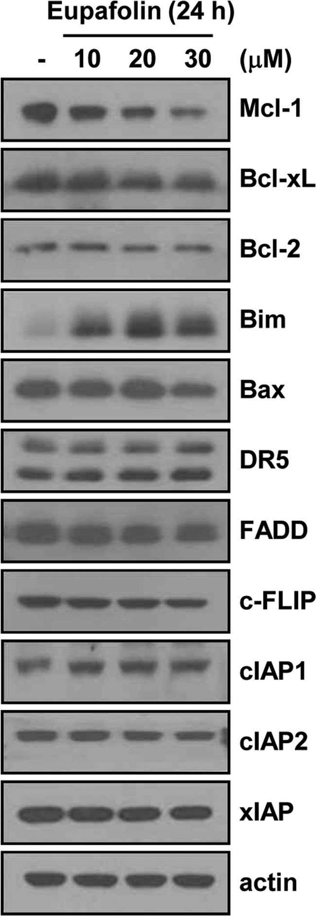 Effects of eupafolin on expression levels of apoptosis-related proteins.