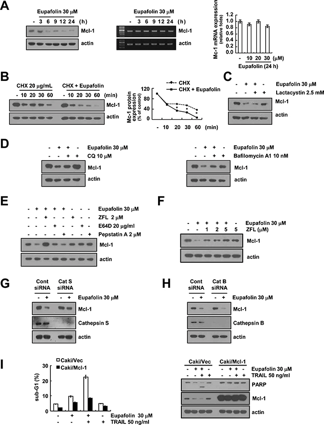 Eupafolin induced cathepsin S-mediated down-regulation of Mcl-1 expression.