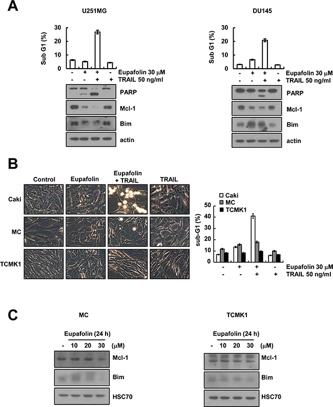 Effect of eupafolin plus TRAIL treatment on apoptosis of other carcinoma cells and normal cells.