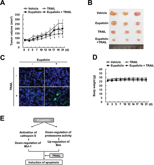 Tumor growth in vivo is reduced by the combined treatment with eupafolin and TRAIL.