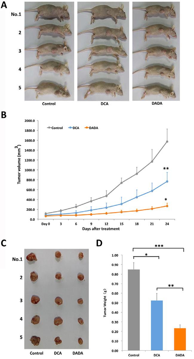 DADA inhibits tumor growth in a subcutaneous transplantation tumor model.