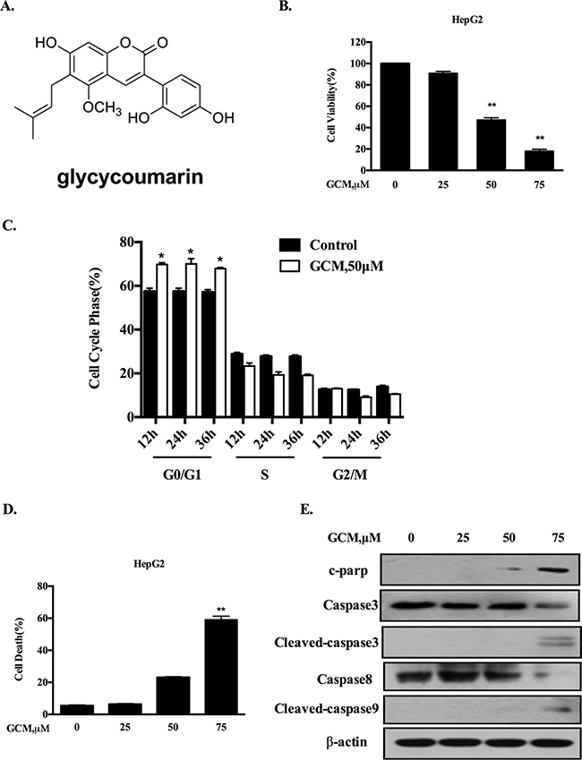 GCM induces cell cycle arrest and apoptosis in HepG2 cells.