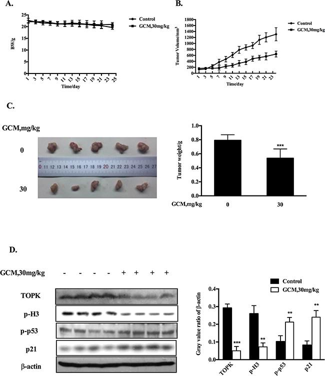 GCM suppresses tumor growth in therapeutic HepG2 xenograft model.