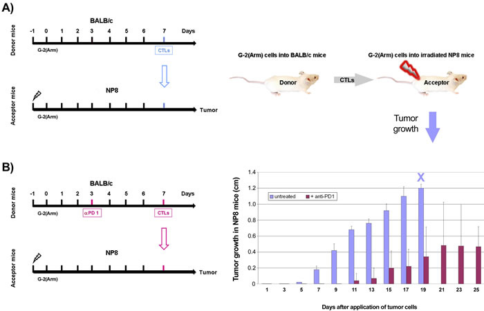 Adoptive transfer of NP-specific CTL from BALB/c donor mice into CTL depleted and G-2(Arm) cell transplanted NP8 acceptor mice to demonstrate NP-specific CTL exhaustion.