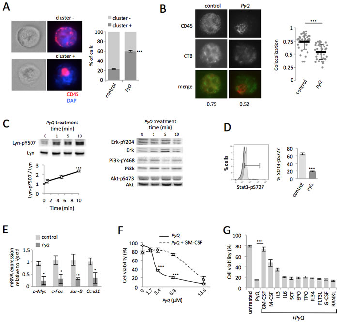 Positioning of CD45 within lipid rafts is crucial for the Lyn/Stat3 proliferation pathway in AML cells.