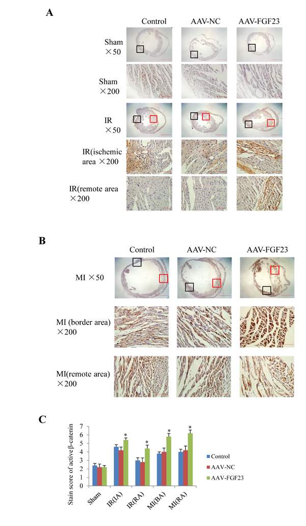 Immunohistochemical detection of myocardial active β-catenin.