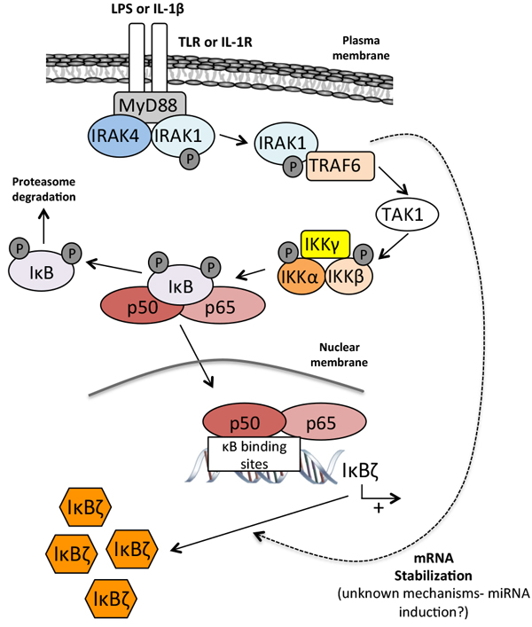 Stable induction of IκBζ.