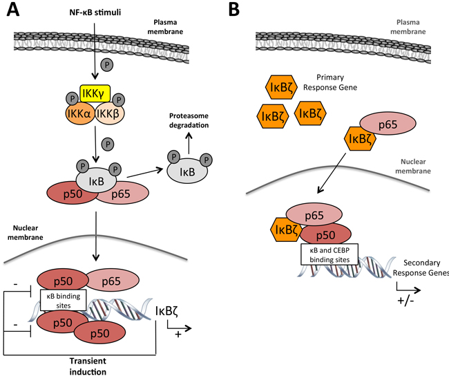 IκBζ function in gene régulation.