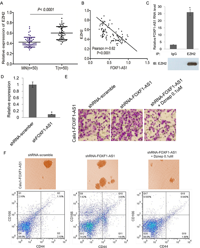 FOXF1-AS1 physically associates with PRC2 components EZH2 and loss of FOXF1-AS1 mediates cell migration and stem-like properties require EZH2