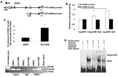 EGR1 regulates miR-20b transcription.