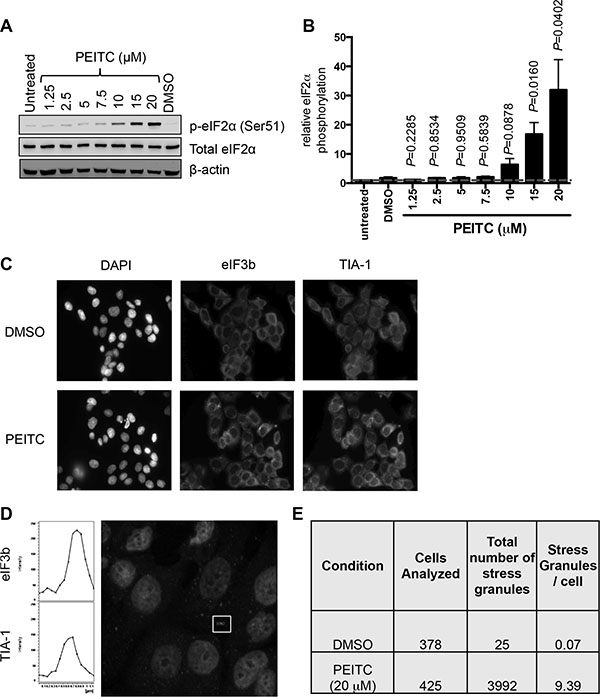 PEITC induces eIF2α Ser51 phosphorylation and stress granule formation.