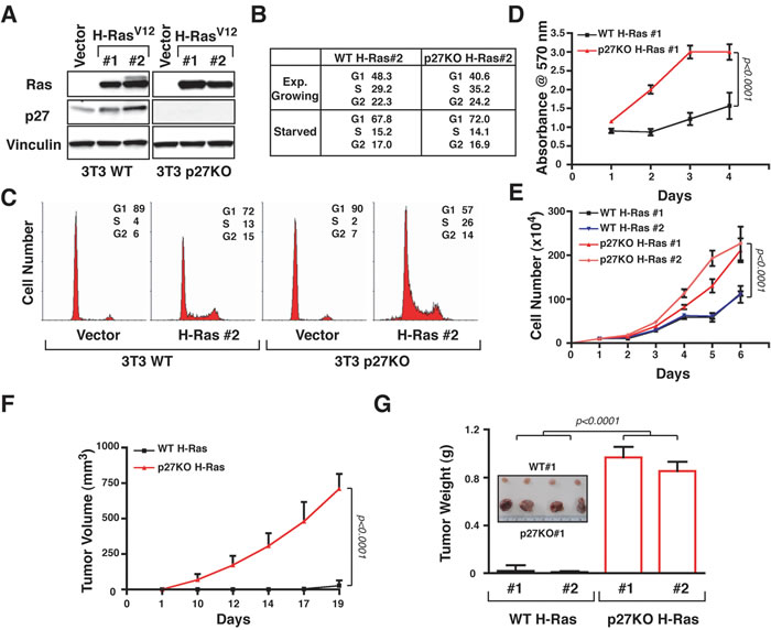 p27 null fibroblasts are much more sensitive to H-Ras