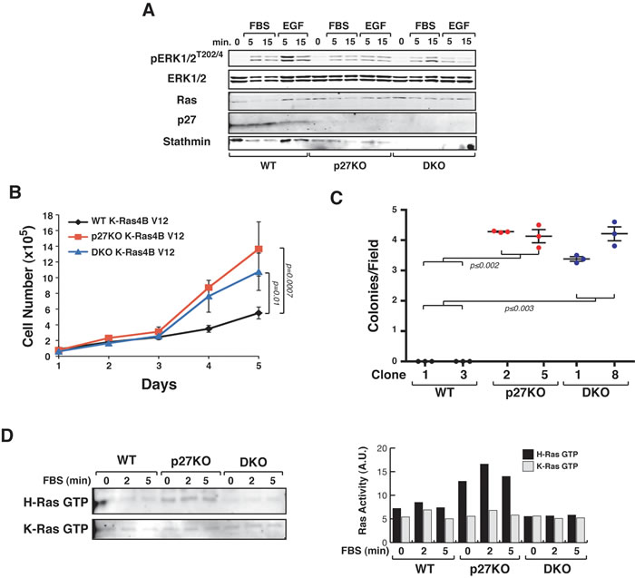 p27 does not control K-Ras4B
