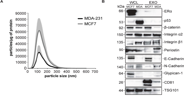 Validation of selected proteins in human breast cancer non-metastatic cell line MCF7 and highly metastatic cell line MDA-MB-231
