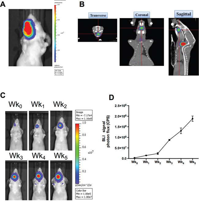 Reporter gene imaging for tracking the growth of human HNSCC in xenograft tumor model.