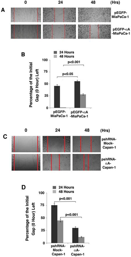 Up-regulation of αA-crystallin retards cell migration A & B. and silence of αA-crystallin promotes cell migration C & D.
