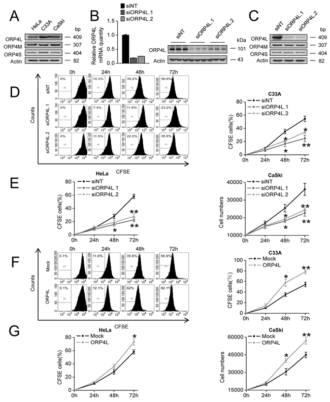 ORP4L is required for C33A, HeLa and CaSki cells proliferation.